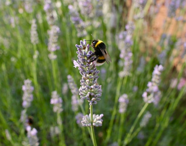 Close de uma abelha colhendo néctar de uma flor