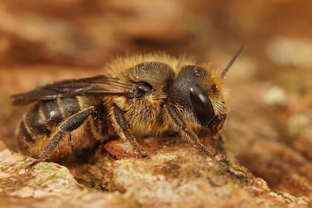 Close de uma abelha cortadora de folhas de pedreiro fêmea (osmia niveata)