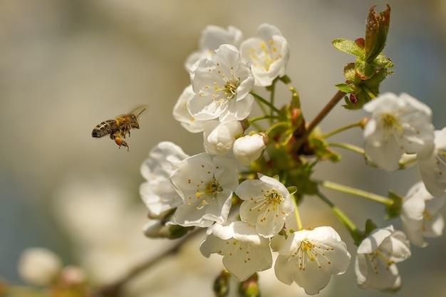 Close de uma abelha e uma flor de cerejeira