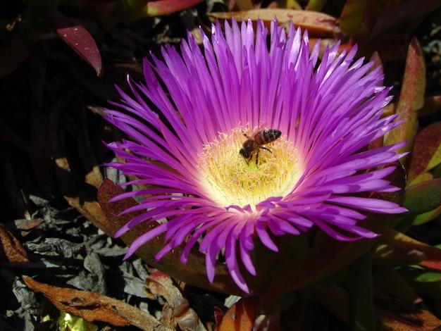 Close de uma abelha em um figo-hotentote em um jardim sob o sol durante o dia em malta