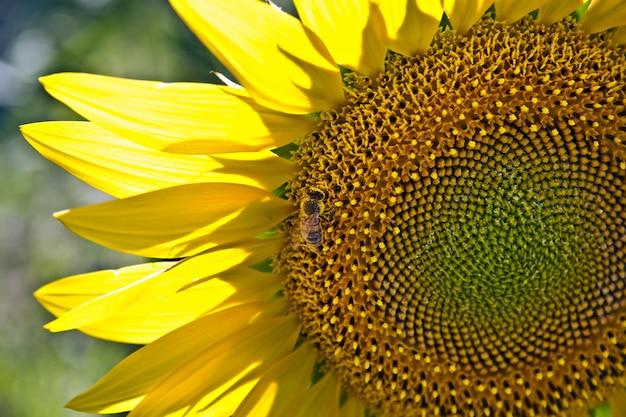 Close de uma abelha em um girassol em um campo sob a luz do sol