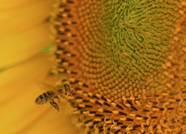Close de uma abelha em um lindo girassol sob a luz do sol