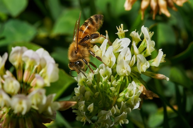 Close de uma abelha em uma flor branca de alfazema