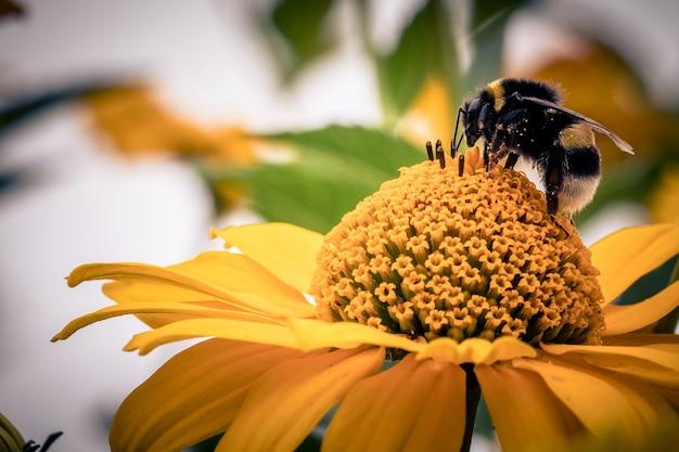 Close de uma abelha em uma flor de laranjeira