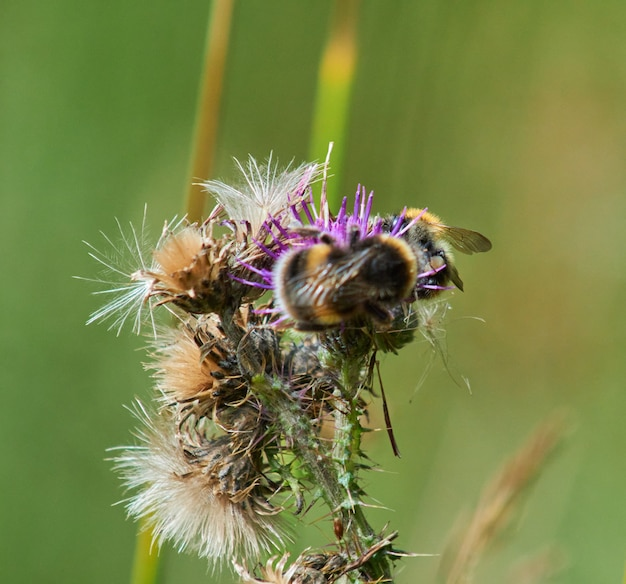 Close de uma abelha em uma flor