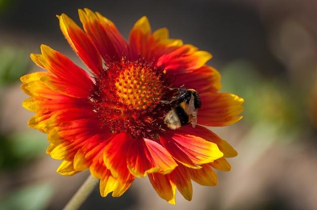 Close de uma abelha em uma grande flor vermelha
