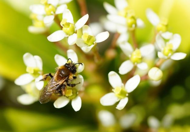 Close de uma abelha em várias flores brancas