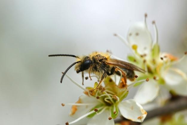 Close de uma abelha mineira com cauda laranja em uma flor