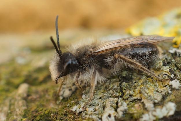 Close de uma abelha mineira macho ameaçada de extinção (andrena nycthemera)