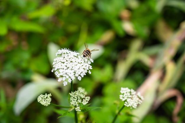 Close de uma abelha na salsa de vaca cercada por vegetação em um campo sob a luz do sol