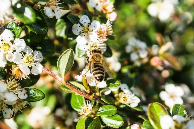 Close de uma abelha nas flores aparecendo nos galhos da árvore