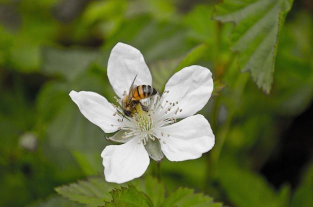 Close de uma abelha polinizando uma flor branca