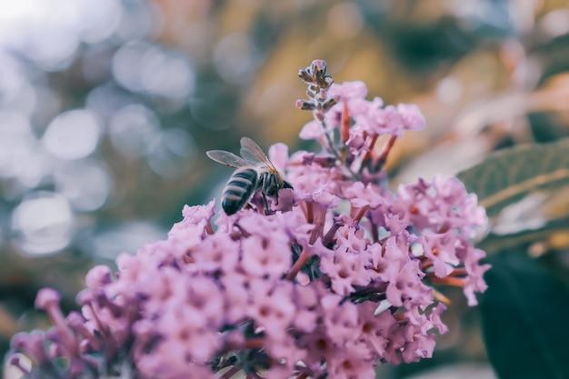 Close de uma abelha polinizando uma flor rosa
