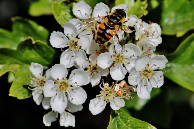 Close de uma abelha sentada em uma flor branca em um campo perto da cidade de rijssen, na holanda