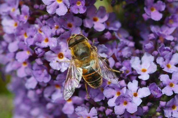 Close de uma abelha sentada em uma flor lilás