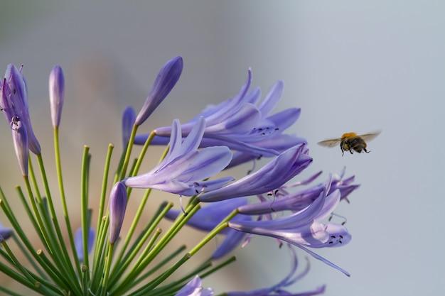 Close de uma abelha voando para flores de agapanthus azul