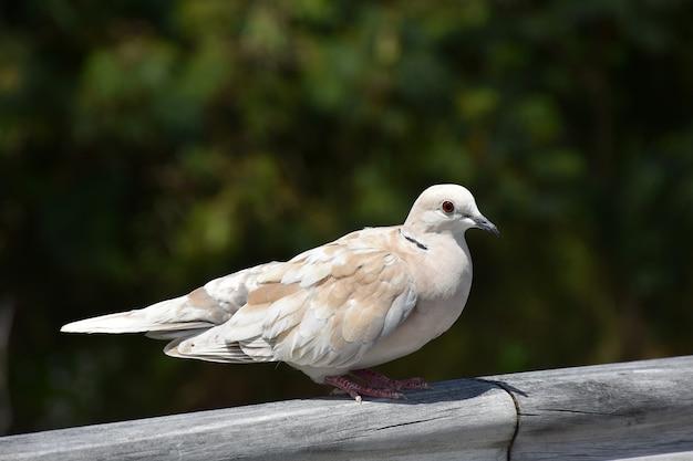Close de uma adorável pomba de colarinho empoleirada em uma cerca de madeira