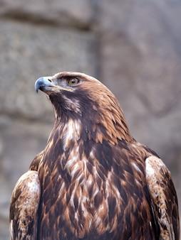 Close de uma águia dourada, uma ave de rapina