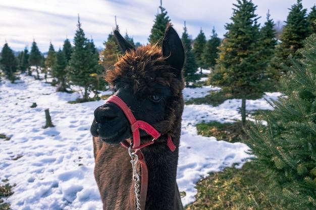 Close de uma alpaca negra ao lado de uma árvore de abeto no inverno
