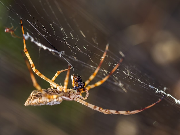 Close de uma aranha comendo um inseto em uma teia de aranha