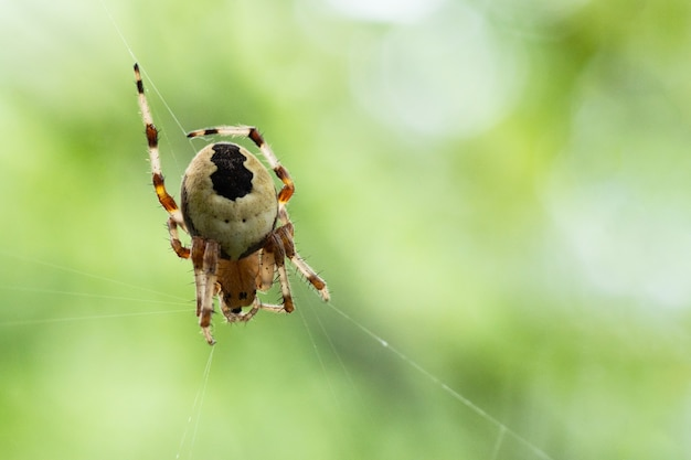 Close de uma aranha cruzada tecendo teia de aranha de seda, cópia do espaço, foco seletivo, plano de fundo natural