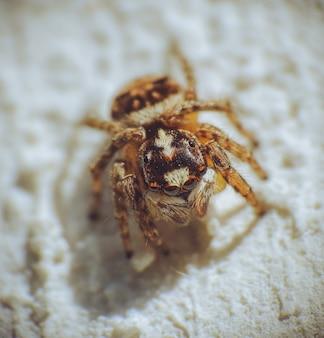 Close de uma aranha saltadora peluda no chão
