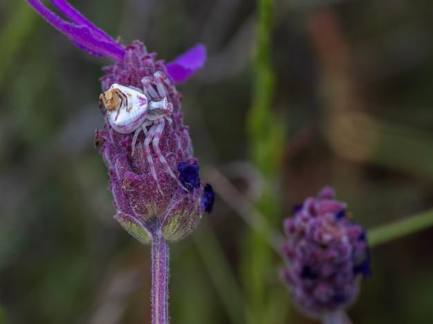 Close de uma bela aranha caranguejo na planta de flor roxa