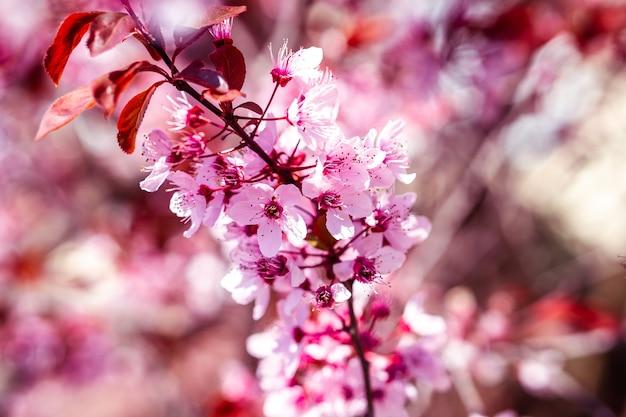Close de uma bela flor de cerejeira sob a luz do sol contra um fundo desfocado