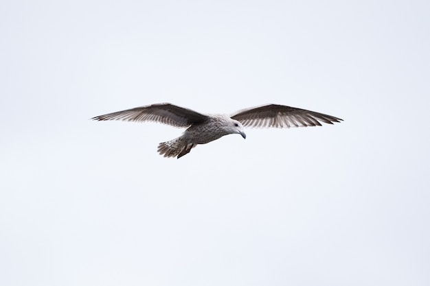 Close de uma bela gaivota-negra juvenil voando contra um céu branco