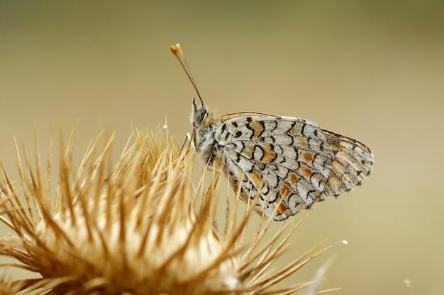 Close de uma borboleta branca marmorizada em uma flor contra um borrão
