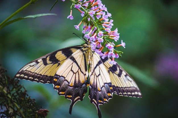 Close de uma borboleta em flores roxas