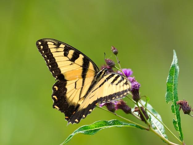 Close de uma borboleta preta e amarela em uma flor com um borrão