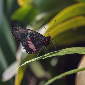 Close de uma borboleta preta e vermelha sentada em uma folha