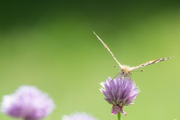 Close de uma borboleta sentada em uma flor roxa com um fundo desfocado