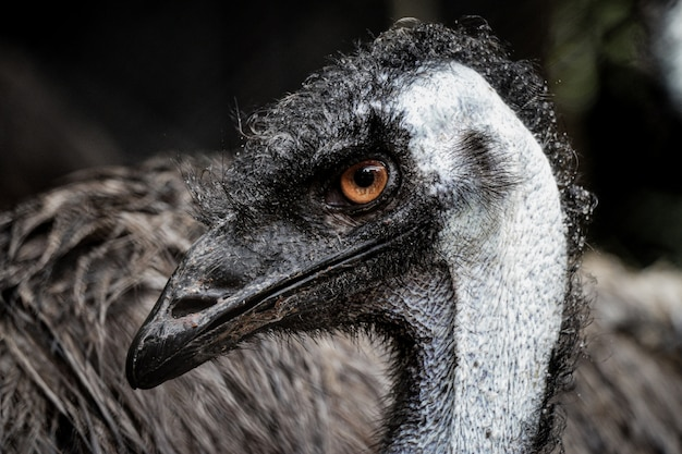 Close de uma cabeça de emu