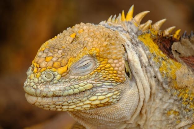 Close de uma cabeça de iguanas com os olhos fechados e fundo desfocado