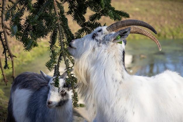 Close de uma cabra branca com uma etiqueta verde na orelha comendo de um abeto