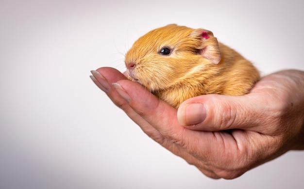 Close de uma cobaia bebê na palma da mão de uma pessoa