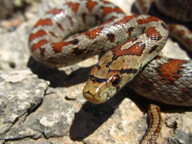 Close de uma cobra-rato europeia rastejando em uma rocha