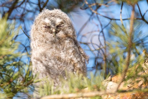 Close de uma coruja cinza com os olhos fechados empoleirada em um galho de árvore