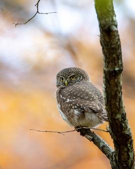Close de uma coruja-cinzenta empoleirada em um galho de árvore