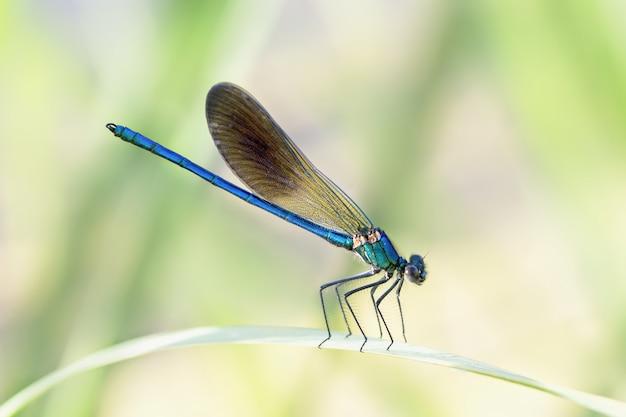 Close de uma donzela azul em uma folha em um jardim sob a luz do sol