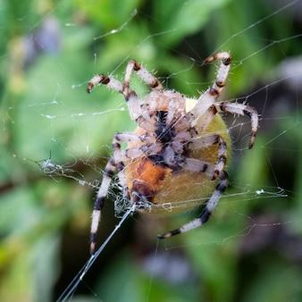 Close de uma enorme aranha araneus em uma teia. a aranha faz uma teia, centenas de fios são visíveis de suas glândulas aranha, macro
