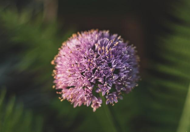 Close de uma flor allium em um campo sob a luz do sol com uma parede desfocada