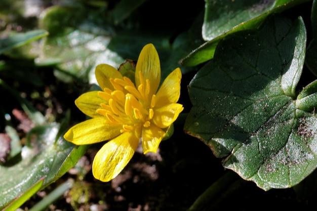 Close de uma flor amarela celidônia menor com folhas verdes borradas
