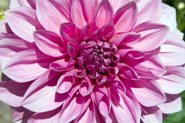 Close de uma flor dália rosa em um jardim em um dia ensolarado