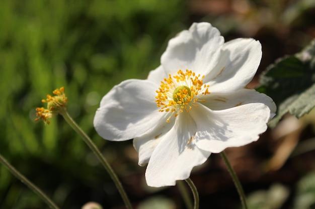Close de uma flor de anêmona colhida