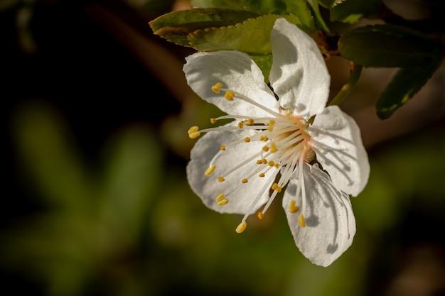 Close de uma flor de cerejeira branca em flor