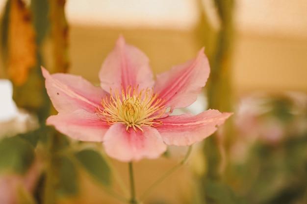 Close de uma flor de clematite