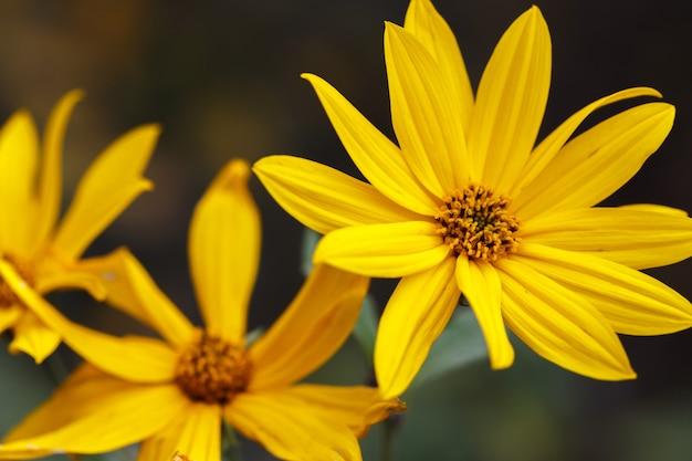 Close de uma flor de jardim de ouro laranja. alcachofra de jerusalém, lindas flores amarelas de outono